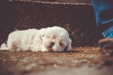 Free White Little Dog Sleeping Royalty Free Stock Image - 83067076