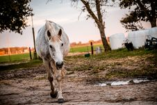 Free White And Brown Horse On Brown Mud Stock Photo - 83067140