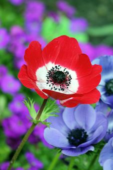 Free Red And White Petaled Flower Beside Purple Petaleed Flower Royalty Free Stock Images - 83067199