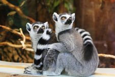 Free Lemurs On Wooden Planks Royalty Free Stock Photography - 83067217