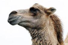 Free Close Up Photo Of Camel Stock Photo - 83067220
