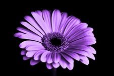 Free Close Up Photography Of Purple Petaled Flower Royalty Free Stock Photography - 83067237