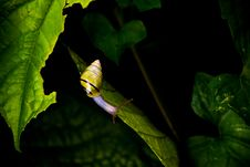 Free Yellow And Black Stripe Snail On Green Leaf Royalty Free Stock Image - 83067336