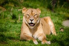 Free Lion Lying On Grass During Daytime Royalty Free Stock Images - 83067589