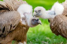 Free Brown And White Vultures Standing On Grass Field In Close Up Photography During Daytime Stock Photos - 83067623