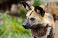 Free Close Up Photography Of African Wild Dog Stock Photo - 83067650