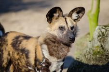 Free African Wild Dog Stock Images - 83067654
