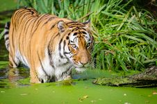 Free Tiger Walking On Pond Near Plants Stock Photos - 83067703