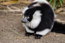 Free Black And White Lemur On Top Of Brown Surface Royalty Free Stock Image - 83067716