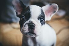 Free Puppy Dog With Black And White Face Stock Images - 83067724