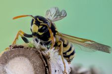 Free Yellow And Black Wasp On Brown Branch Royalty Free Stock Photos - 83067848