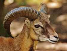 Free Brown Ram Goat Royalty Free Stock Photo - 83067875