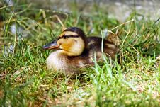 Free Brown And Black Duck On Green Grass Field During Daytime Royalty Free Stock Photography - 83067927