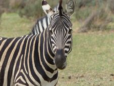 Free Close Up Photography Of Zebra Animal During Daytime Stock Images - 83067954
