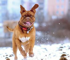 Free Dog In Snow Stock Image - 83067971