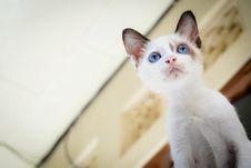 Free White Short Fur Kitten With Blue Eyes Stock Photo - 83068170