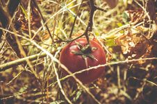 Free Red Tomato At Dried Plant Stock Photos - 83068273