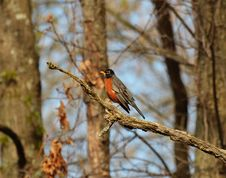 Free Gray Orange And Black Bird On Brown Tree Branch Royalty Free Stock Photo - 83074005