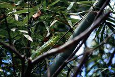 Free Chameleon On Tree Stock Photography - 83074092