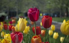Free Colorful Tulips Royalty Free Stock Photos - 83074158
