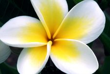 Free Plumeria Flower Stock Photo - 83074170