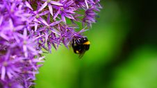Free Bee On Purple Flower Royalty Free Stock Photography - 83074227