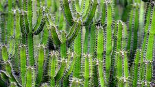 Free Green Cactus Plants Royalty Free Stock Images - 83074229