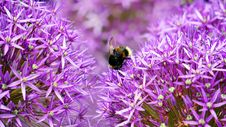 Free Black And Yellow Bee On Purple And White Flower During Day Time Royalty Free Stock Photography - 83074247