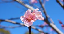Free Pink Spring Bloom Royalty Free Stock Image - 83074256