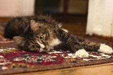 Free Black Gray And White Tabby Cat Resting In Brown Red Black And White Rug Royalty Free Stock Image - 83074486
