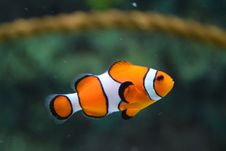 Free Clown Fish Swimming Royalty Free Stock Photo - 83074725