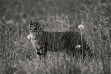Free Grayscale Photo Of Short Furred Medium Size Cat On The Grass And Flowers Royalty Free Stock Photography - 83074767