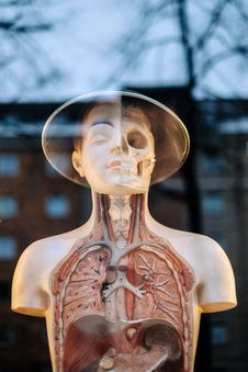 Free Human Lungs Mannequin Beside Clear Glass Window Royalty Free Stock Photos - 83074918