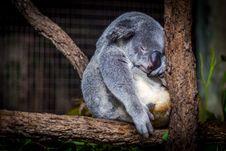 Free Koala Bear In Tree Royalty Free Stock Photo - 83074955