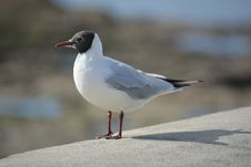 Free Seagull On Concrete Stock Image - 83075011