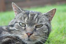 Free Tabby Cat Portrait Royalty Free Stock Photo - 83075115