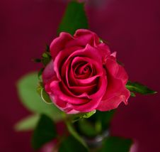 Free Red Rose In Bloom Royalty Free Stock Image - 83075226