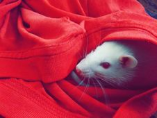 Free White Mouse Hiding On Red Textile Stock Images - 83075244