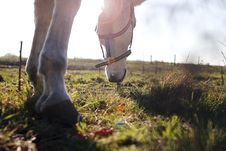 Free Horse Grazing In Filed Royalty Free Stock Images - 83075279