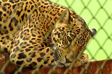 Free Leopard On Cage In Closeup Photography Stock Photo - 83075360
