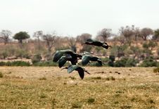 Free Black And Green Bird Flying Above Wheat Stock Images - 83075904