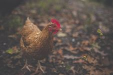 Free Brown Feathered Hen Stock Photography - 83076112