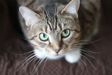 Free Cat Close Up Royalty Free Stock Image - 83076186