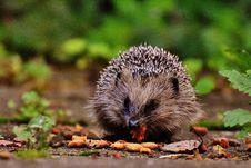 Free Hedgehog Eating Stock Images - 83076194
