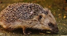 Free Black Grey Hedgehog Royalty Free Stock Photography - 83076207