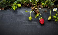 Free Strawberries On Stone Stock Photography - 83076392