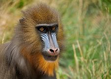 Free Mandrill Monkey Royalty Free Stock Image - 83076526
