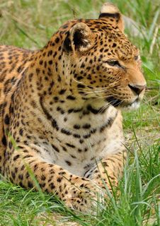 Free Leopard Lying In The Grass Stock Photo - 83076550