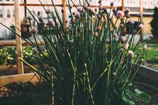 Free Chives Growing In Garden Royalty Free Stock Photo - 83076605