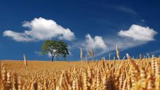 Free Trees On Yellow Wheat Field Under Blue Sky Royalty Free Stock Image - 83076636